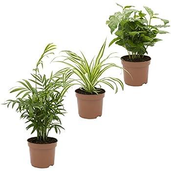 Zimmerpflanzen Südseite dominik blumen und pflanzen zimmerpflanzen tropic trio efeutute