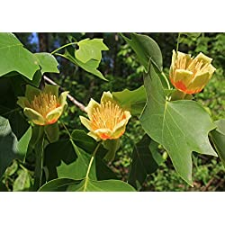 Tulpenbaum Liriodendron tulipifera Pflanze 120cm tolle gelbe Blüten Rarität