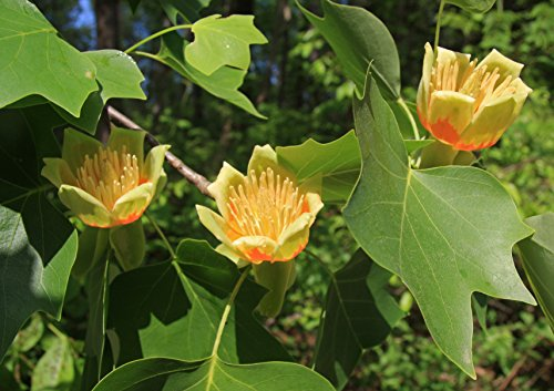 Tulpenbaum Liriodendron tulipifera Pflanze 10cm tolle gelbe Blüten Rarität