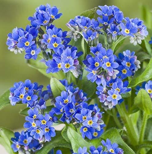 Yukio Samenhaus - 50pcs Vergissmeinnicht Myosotis sylvatica, blau Blumensamen Mischung winterhart mehrjährig zur Beet-, Balkon- und Grabgestaltung