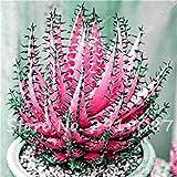 30 Stück Aloe Samen Seltene Farbe Sukkulenten Mini Garten Pflanzen