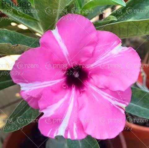 Pinkdose 2pcs Fiore rosa del deserto vero Adenium obesum bonsai fiore pianta piante grasse perenni piante in vaso al coperto per il giardino di casa: 24