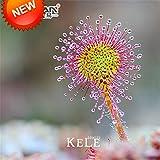 HOO PRODUCTS - Drosera peltata Samen Topfpflanze Kreis Sonnentau Fleischfressende Pflanzen Garten Samen 100 Samen/Beutel Neue Ankunft!