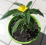 Portal Cool Damiana vegetale, vegetale Turnera afrodisiaca diffusa. Testosterone