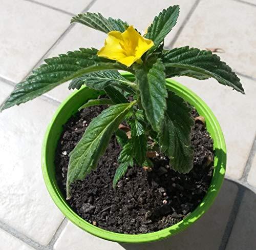 Portal Cool Damiana, Planta de Turnera afrodisiaca generalizada. La testosterona