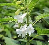 Potted graines de fleurs Physostegia virginiana, blanc graines de plantes obéissants, graines de sésame fleur, environ 30 particules