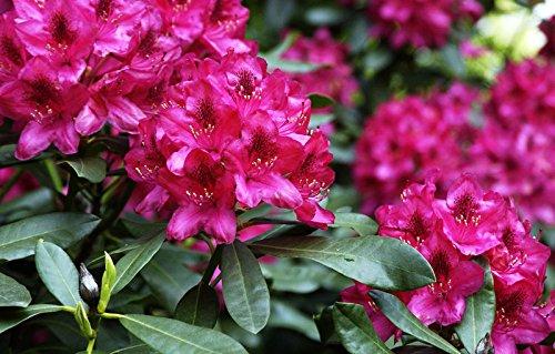 Rhododendron Nova Zembla Rhododendron Hybride Nova Zembla Containerware 30-40 cm