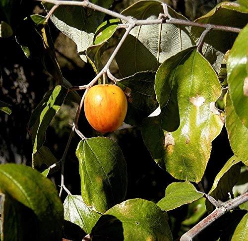 Portal Cool Kaufen, 3 2 Free Baumsamen 10 Stück Jujube Zizyphus Mauritiana Gartenbonsai