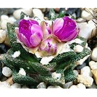 Ariocarpus bravoanus - 10 semi