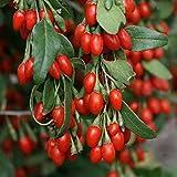 Goji Beere Lycium barbarum 1x Kräftige Frostharte Pflanze 65-75 cm. Höhe zur Auspflanzung in ihrem Garten