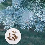 Blaufichte Samen Immergrüner Baum Samen Garten Balkon Pflanzen Samen Colorado Blaufichte Baum Samen, 20 Teile/Beutel