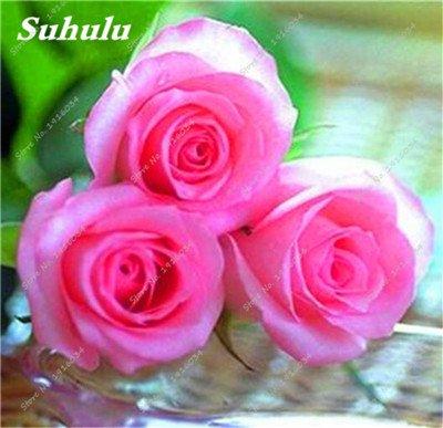 100 pièces / sac Couleur Rare Rose Graines Outdoor Bonsai Graines de fleurs vivaces Fleurs Graines Plante en pot pour jardin Décor 4