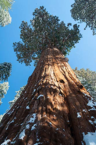 Berg Mammutbaum 10 Samen- Sequoiadendron giganteum - Bonsai