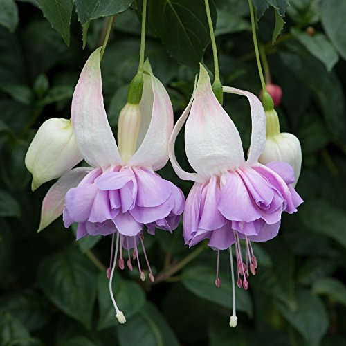 6-patio-plug-plants-fuchsia-southern-belles-wendys-beauty
