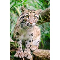 Clouded Leopard Big Cat Animal Journal: 150 Page Lined Notebook/Diary