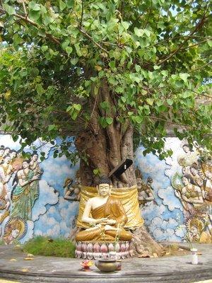 Buddha-Baum Ficus religiosa 100 Samen