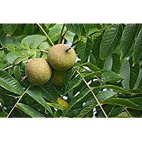 Portal Cool Las semillas del paquete: 20: Este nueces negras (Juglans Nigra) Semillas Nueces de Ãrbol envío