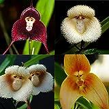 Generic SchÃne 10 Stücke Neue Orchidee Samen SchÃne Pflanze Blume Garten Seltene Affe Gesicht Heißer
