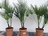 Palmier de Jardin rare 2 TRONCS hauteur totale 60/80 cm