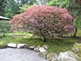 10 Samen von roter Spitze Blatt Japanischer Ahorn, Acer palmatum Atropurpureum Dissectum