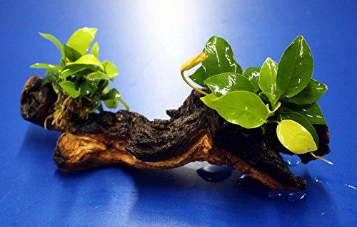 Pflanzen Guppys Aquarium Für (2 x Goldenes Zwergspeerblatt auf einer schönen Mopani-Wurzel / Anubias nana GOLD)