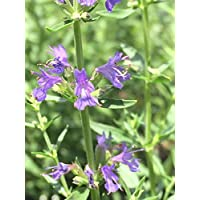 PlenTree Hisopo, Hyssopus officinalis, 150 semillas, orgánico, de la herencia Semillas, Seed Medicinal