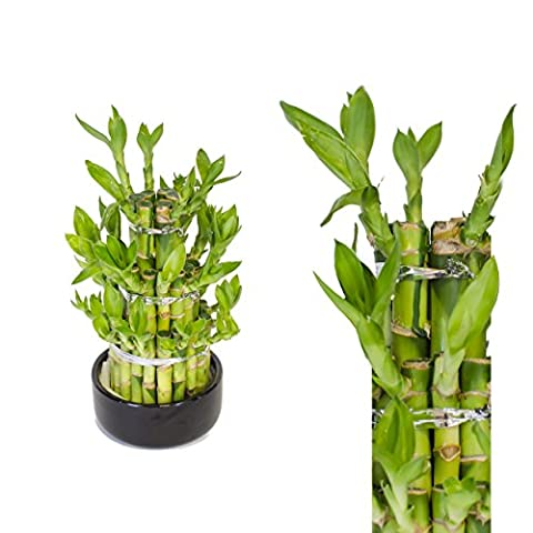 Lucky Bamboo (Dracaena Sanderiana) Tower 25cm +/- in Ceramic Pot - Round - Random Colour - perfect gift for every occasion / office / home