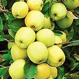 Pianta da frutto ALBERO DI MELO CLASSICO SIMILE 'GOLDEN' A RADICE NUDA - 1 METRO