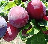 #6: Plant House Live Aloocha Sweet Fruit Plant with POT