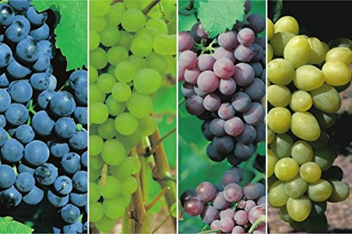Dornfelder, Phoenix, Roter Gutedel & Vitis vinifera Solaris in einem Paket