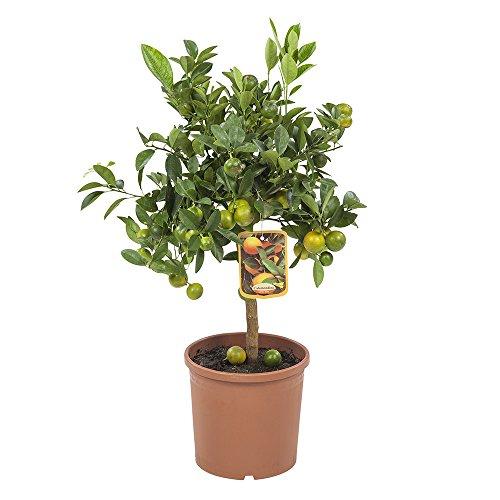 FloraAtHome - Grünpflanze - Calamondinorange - Citrus microcarpa - 75cm hoch