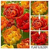 Plant & Bloom - Bulbes de fleurs, Tulipes Caméléons à fleurs doubles d'Hollande - 25 ampoules, plantation d'automne, faciles à cultiver, floraison printanière - Oranges- Qualité supérieure hollandaise