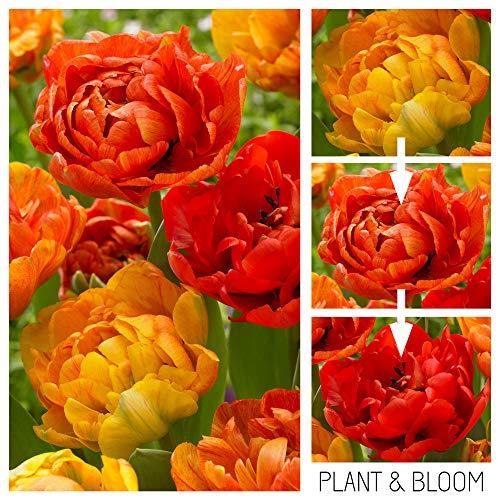 plant & bloom - bulbi da fiore, tulipani camaleonte a doppio fiore dall'olanda - 25 bulbi, piantagione autunnale, facile da coltivare, fioritura primaverile - arancioni - qualità superiore olandese