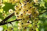 Weiße Johannisbeere - ALTE SORTE - Ribes rubrum Witte Parel - 60-80cm 2 Ltr. Topf