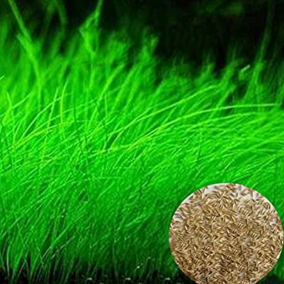 Aquarium Grass Plant Seeds, West Coast Easy Aquatic Live Plant, for Garden Lawn Fish Tank Aquarium Decor(Small)