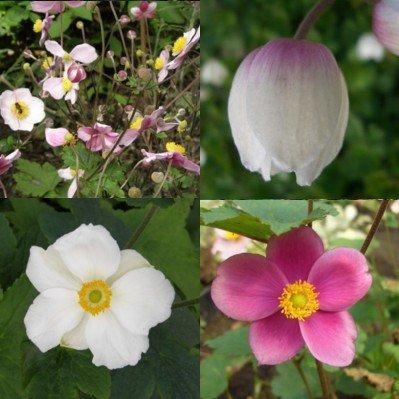 lichtnelke - 5 Stück Stauden Pflanzen Anemonen / Herbstanemonen