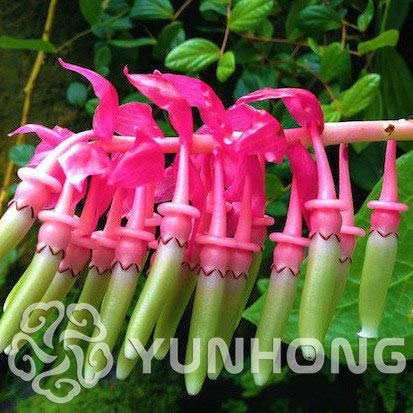 Bloom Green Co. Blumen Bonsai Rich-Bonsai Ardisia Crenata Eisen Parasol Big luo Regenschirm roten Sonnenschirm Bonsai 50PCS / Tasche Bonsai-Baum-Dekor: 4
