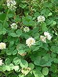 graines de trèfle Blanc à semer pour Tortues ou Jardin 90 grammes