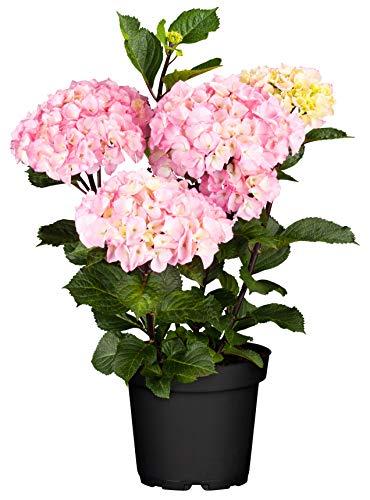 Gartenhortensie Außergewöhnliche Blütenfarben
