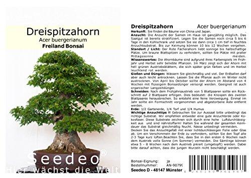 Seedeo Bonsai Anzucht – Set Dreispitzahorn (Acer buergerianum)