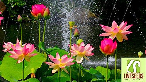 liveseeds-bonsai-lotus-lotus-pond-schssel-flower-water-lily-lotus-frhling-5-samen