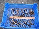 Portal Cool Roots Ou Raifort - Cinq Thongs pour 9,90 - Frais de ports gratuits Grown dans le sol organique...