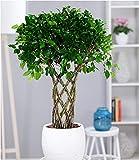 BALDUR-Garten Ficus nitida