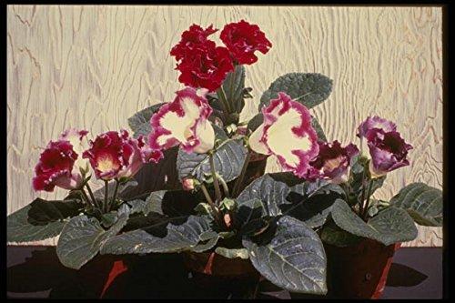 124016 Sinningia Speciosa (Florist Gloxinia) A4 Photo Poster Print 10x8