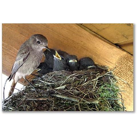 –Poster, motivo: nido Parent pulcini alimentazione (A3Maxi–29,4x