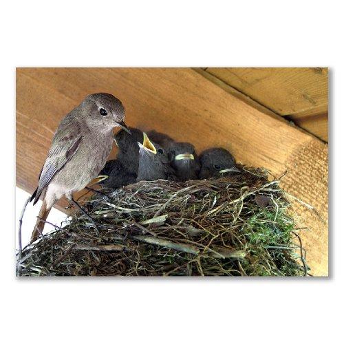 -Poster, motivo: nido Parent pulcini alimentazione (A2Maxi-40,7x