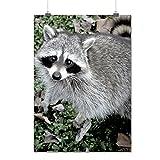 Raton laveur Mignonne La nature Animal Maîtriser De Voleurs Matte/Glacé Affiche A2 (60cm x 42cm) | Wellcoda