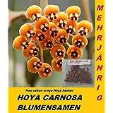 20x Hoya Samen Hoya Carnosa Blum
