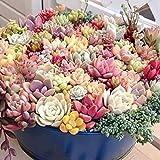 Keland Garten - Sukkulenten Samen Mischung winterhart Blumensamen, geeignet auch für alte Schuhen oder Dachziegeln (50 Samen)