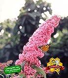 BALDUR-Garten Buddleia Sommerflieder 'Pink Delight' Schmetterlingsflieder Schmetterlingsstrauch Zierstrauch, 1 Pflanze Buddleja davidii